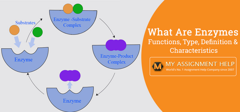 Enzymes: Functions