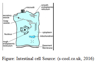 Intestinal Cell Source